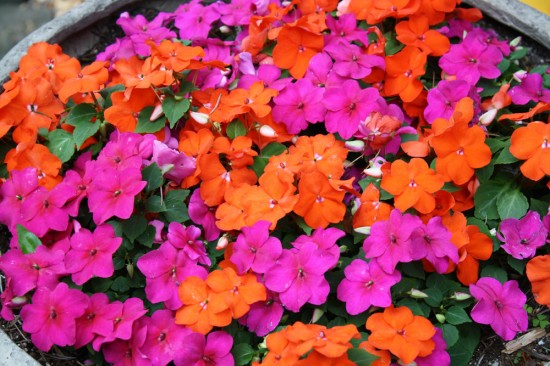 Brilliantly bright impatiens.