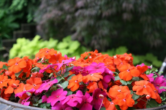 A large urn-style container in the shadier part of my yard bubbling with vivid impatiens.