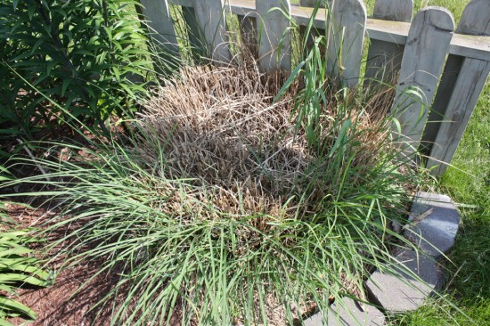 Miscanthus ornamental grass with a dead center, in need of division.