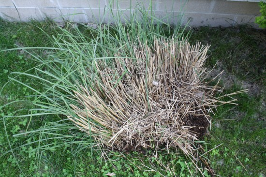 Miscanthus Clump