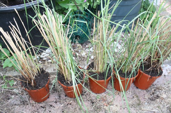 Divided Miscanthus Potted Up