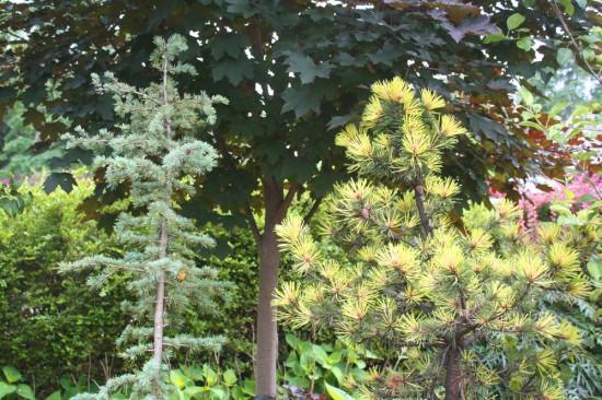 Cedrus deodara 'Karl Fuchs' and Pinus contorta 'Taylor's Sunburst'
