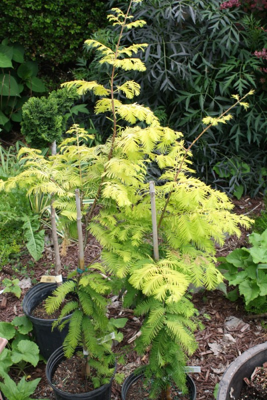 Two Metasequoia 'Gold Rush'