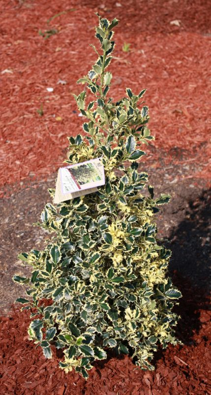 variegated-holly