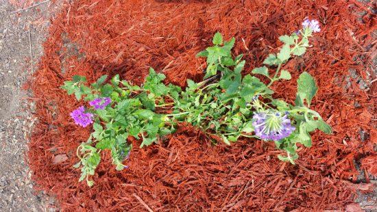 Newly planted Homestead Verbena