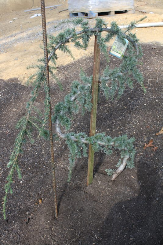 My Weeping Blue Atlas Cedar